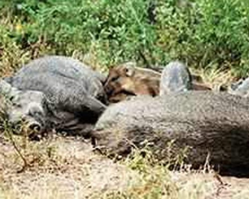 Give funds for culling boars: Shooters to govt