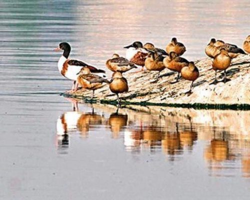 Common Shelduck quacks loudly in Hussainsagar